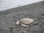 Green Turtle Black Sand